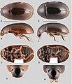 Ephydrolithus (10.3897-zookeys.855.33013) Figure 5.jpg