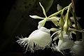 Epidendrum ilense 'Sapporo Black' (x sib) Dodson, Selbyana 2- 51 (1977) (25357716067).jpg