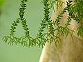 Epiphytic Club Moss (Huperzia salvinioides) (15435449257).jpg