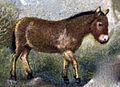 Equus Przevalskii.jpg