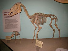Equus simplicidens UMNH.jpg