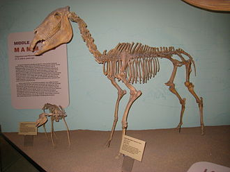 Hagerman horse - Mounted skeleton of a Hagerman horse