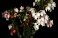 Erica glomiflora 0427.png