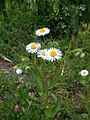 Erigeron annuus flowers2.JPG