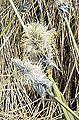 Eriophorum vaginatum Blüte2.jpg