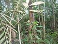 Espécie de Àrvore da Floresta.JPG