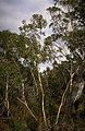 Eucalyptus barberi habit.jpg