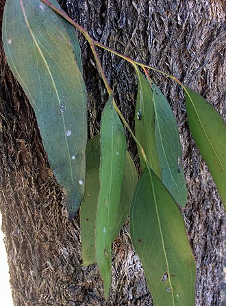 Eucalyptus moluccana - Image: Eucalyptus moluccana bark and leaves