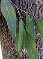 Eucalyptus moluccana - bark and leaves.jpg