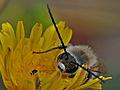 Eucera longicornis.jpg