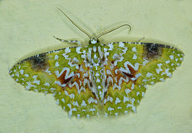 Eucyclodes gavissima.jpg