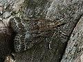 Eudonia pallida (43842178982).jpg