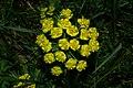 Euphorbia cyparissias o3.JPG