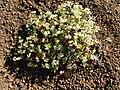 Euphorbia origanoides.jpg