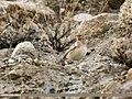 Eurasian Skylark (Alauda arvensis) (37595027595).jpg