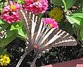Eurytides marcellus (zebra swallowtail butterfly) on zinnias (Newark, Ohio, USA) 5 (29825264678).jpg