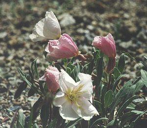 Oenothera californica - ssp. avita