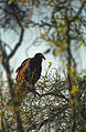 Everglades44(js)-Turkey Vulture.jpg
