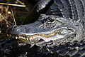 Everglades Natl Park Alligator.jpg