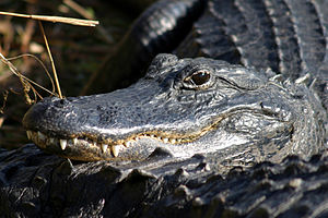 Everglades National Park - Alligators thrive in freshwater sloughs and marl prairies.