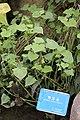 Fagopyrum dibotrys, Hangzhou Botanical Garden 2018.06.03 16-35-37.jpg