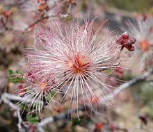A close-up of a desert shrub in bloom. The flower is a cluster of light pink filaments radiating from a dark pink center.