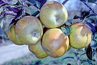 Fall Russet on tree, National Fruit Collection (acc. 1958-067).jpg