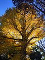 Fall leaves in Tokyo.JPG