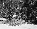 Fallen tree limb at Grotto Campground. ; ZION Museum and Archives Image 107 02 007 ; ZION 8433 (7badb462aca34ae19b32e7058b2d9dc6).jpg