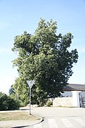 Famous tree Salmovy lípy in Sloup, Blansko District.jpg