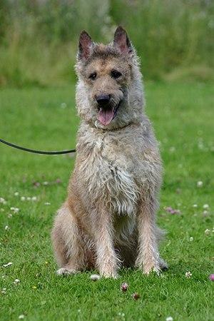Belgian Shepherd - Laekenois
