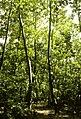 Fanna AKK Pisonia Forest.jpg