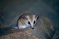 Fat-tailed Dunnart (Sminthopsis crassicaudata) (10001538736).jpg