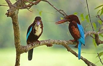 Feeding - White-throated Kingfisher.JPG