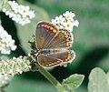 Female Common Blue Polyommatus icarus (32679384761).jpg