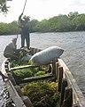 Ferrying seaweed (5761949817).jpg
