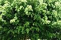 Ficus (Ficus benjamina) (14694266475).jpg