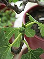 Ficus carica bonsai A D200612 fig.jpg