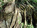 Ficus roots weathering.jpg