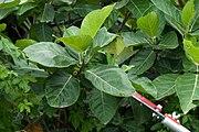 Ficus septica.jpg