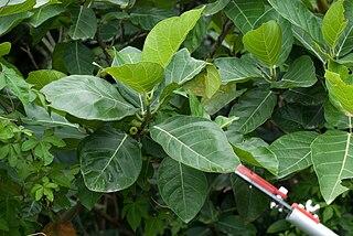 <i>Ficus septica</i> species of plant