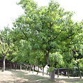 Ficus superba var. japonica by OpenCage.jpg