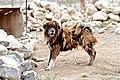 Fierce Tibetan Mastiff.jpg