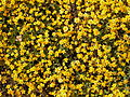 Figueroa Mountain yellow wildflowers.jpg