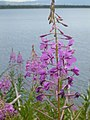 Fireweed Wildflower at Jenny Lake, DyeClan.com - panoramio.jpg