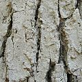 Fissurina alligatorensis - Flickr - pellaea (2).jpg