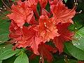Flame Azalea Rhododendron calendulaceum 'Mandarin Red' Closeup 3264px.jpg