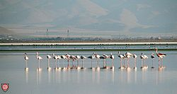 Flamingos at Meyghan Salt Lake.jpg