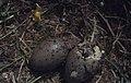 Flatholm Lesser Black-Back hatching 2nd egg cracking 12.6.71 (32648627920).jpg