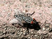Flesh fly2.jpg